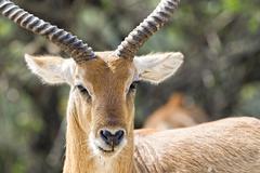 impala portrait of african antelope - stock photo