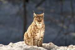 Lynx in the snow background while looking at you suspicious Stock Photos