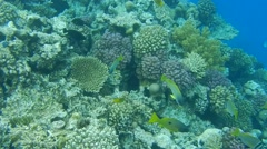 Colorful fish swim in the coral reef of the Red Sea. Stock Footage