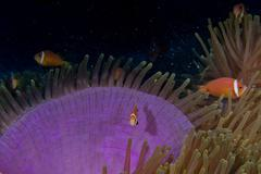 Clown fish portait while looking at you from anemone tentacles Stock Photos