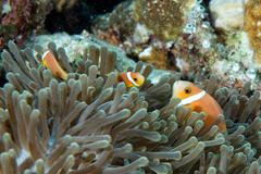 Clown fish portrait while looking at you from anemone tentacles - stock photo