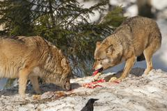 A grey wolf isolated in the snow while eating fresh meat Stock Photos