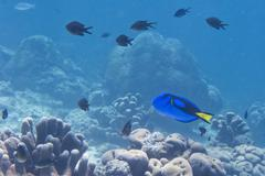 A surgeon fish Dori of finding nemo - stock photo