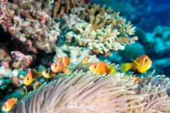 Clown fish family inside red anemone - stock photo