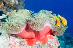 Clown fish family inside red anemone Stock Photos