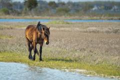 Assateague horse wild pony portrait while coming to you Stock Photos