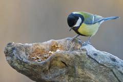 great tit portrait while looking at you - stock photo