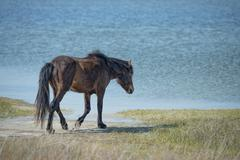 Assateague horse wild pony portrait while going to water Stock Photos