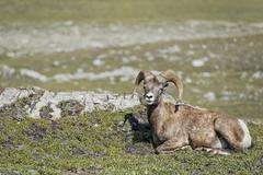 Big Horn Sheep Ovis canadensis portrait on the mountain background - stock photo