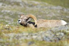 Big Horn Sheep Ovis canadensis portrait on the mountain background Stock Photos