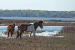 Assateague horse wild pony portrait while playing Stock Photos