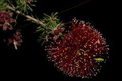 Australia bush flora flowers detail close up banksia flower - stock photo