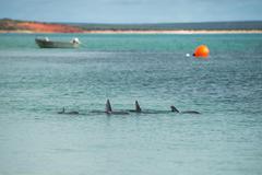 Wild dolphins near the shore in Australia Monkey Mia beach Kuvituskuvat