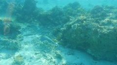 Blue spotted stingray swims over a reef. Stock Footage