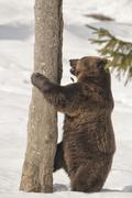 A black bear brown grizzly in the snow background Stock Photos