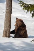 Brown bear grizzly climbing a tree on the snow background - stock photo