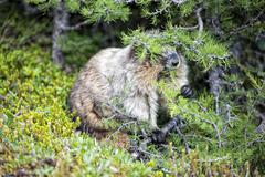Canadian brown and white Marmot Groundhog Portrait - stock photo