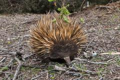 Echidna australian endemic animal close up portrait Stock Photos