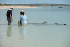 MONKEY MIA, AUSTRALIA - AUGUST, 28, 2015- wild dolphins near the shore get in Kuvituskuvat