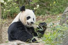 Giant panda while eating bamboo close up portrait Stock Photos