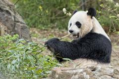 giant panda while eating bamboo close up portrait - stock photo