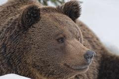 Bear brown grizzly portrait in the snow while looking at you Stock Photos