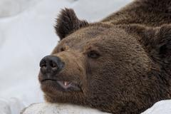 Bear brown grizzly portrait in the snow while looking at you - stock photo