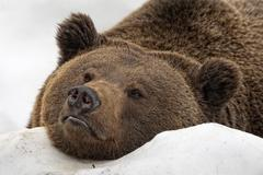 Brown bear grizzly portrait in the snow while looking at you - stock photo