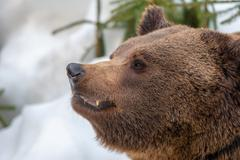 Bear brown grizzly looking at you on the snow background Stock Photos