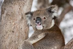Wild koala on a eucalyptus tree portrait - stock photo