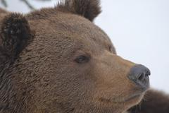 A black bear brown grizzly portrait in the snow while looking at you Stock Photos