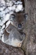 Wild koala on a eucalyptus tree portrait Stock Photos