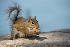 A grey squirrel looking at you while holding a nut  in the blue sky backgroun - stock photo