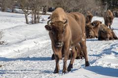 european bison portrait on snow background - stock photo