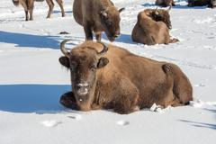 European bison portrait on snow background Stock Photos