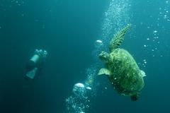 A turtle avoiding scuba divers bubbles in Sipadan, Borneo, Malaysia - stock photo