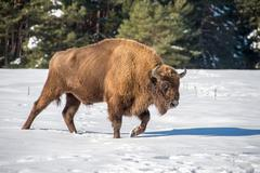 european bison portrait on snow background - stock photo
