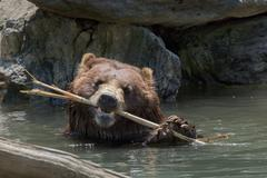 bear brown grizzly playing in the water while looking at you and crunching a  - stock photo