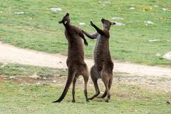 Kangaroos while fighting at sunset in kangaroo island Stock Photos