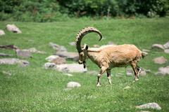 African ibex long horn sheep Steinbock on the grass - stock photo