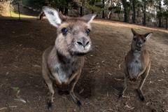 Kangaroos while looking at you at sunset in kangaroo island Stock Photos