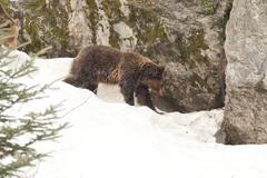 Young Brown bear brown grizzly walking to nest in the snow background - stock photo