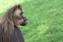 Gelada baboon monkey ape portrait on the grass Stock Photos