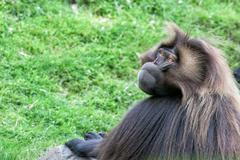 Gelada baboon monkey ape portrait on the grass Stock Photos
