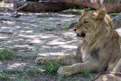 African female lion close up portrait Stock Photos