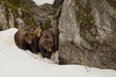 A black bear brown grizzly family portrait in the snow while looking at you - stock photo