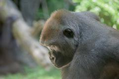 Black gorilla ape monkey close up portrait Kuvituskuvat