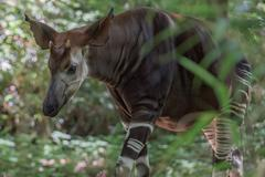 Okapi rare african antilope and zebra crossing on the forest background - stock photo
