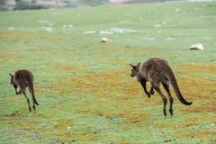 Kangaroos while jumping at sunset in kangaroo island Stock Photos