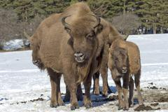 european bison mother and calf puppy portrait on snow background - stock photo